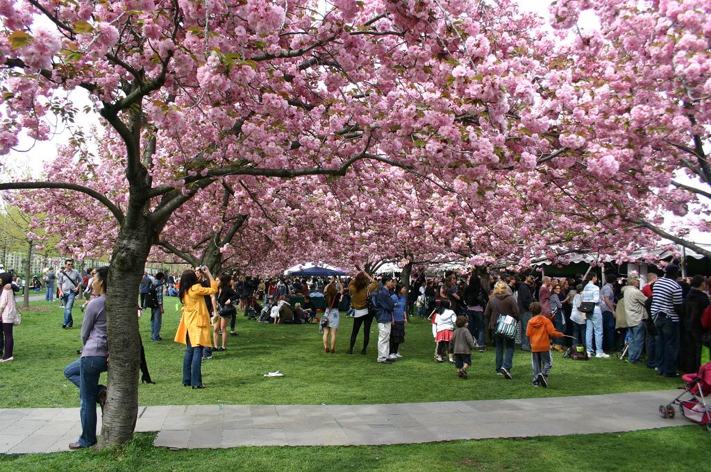 Cherry Blossom Festival 2017 | Pacific Tradewinds Hostel